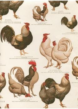 Les poules et les coqs (70x100)
