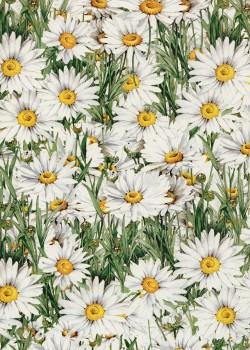 Marguerite (70x100)
