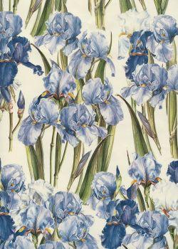 Iris (70x100)