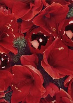 Les fleurs de noël (65x95)