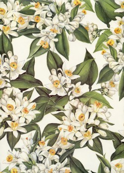 Fleurs d'oranger (70x100)