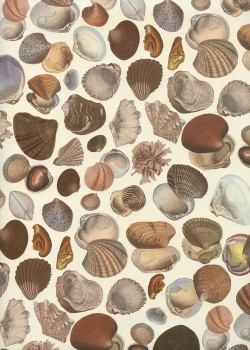 Les coquillages ton brun (70x100)